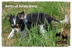 Foto 6 Chihuahua Rüde tricolor - KEINE Dilution 17 Wochen sucht liebevolles zu Hause!