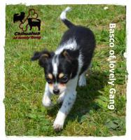 Foto 8 Chihuahua Rüde tricolor - KEINE Dilution 17 Wochen sucht liebevolles zu Hause!