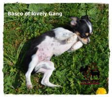 Foto 9 Chihuahua Rüde tricolor - KEINE Dilution 17 Wochen sucht liebevolles zu Hause!
