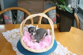 Chihuahua Teacup