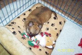Foto 3 Chihuahua zu Verkaufen