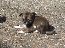 Chihuahua Welpe Männlich