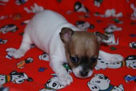 Chihuahua Welpen