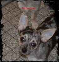 Foto 4 Chihuahua Welpen