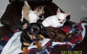 Foto 6 Chihuahua Welpen