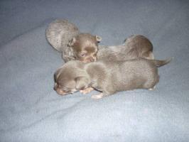 Chihuahua Welpen Abnhame März