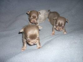 Foto 2 Chihuahua Welpen Abnhame März
