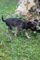 Chihuahua-Welpen mit Ahnentafel
