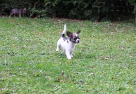 Foto 2 Chihuahua-Welpen mit Ahnentafel