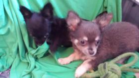 Foto 2 Chihuahua Welpen Blau