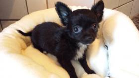Foto 5 Chihuahua Welpen Blau