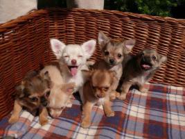 Foto 2 Chihuahua Welpen FCI