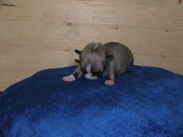 Foto 3 Chihuahua Welpen aus FCI-ÖKV-Zucht