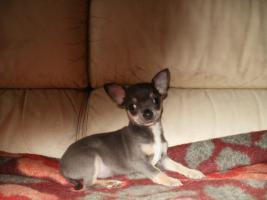 Chihuahua Welpen Hündin und Rüde