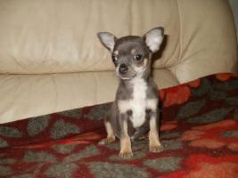 Foto 2 Chihuahua Welpen Hündin und Rüde