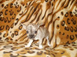 Foto 4 Chihuahua Welpen Hündin und Rüde