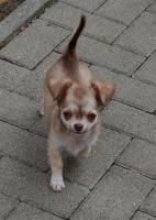 Foto 2 Chihuahua Welpen Kurz und Langhaar