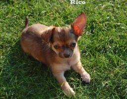 Foto 3 Chihuahua Welpen Kurz und Langhaar