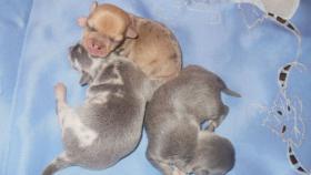 Foto 4 Chihuahua Welpen Lila und Blau, Rüden