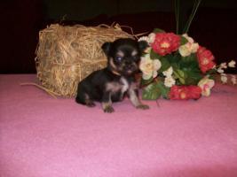 Chihuahua Welpen (auch Minis) Langhaar