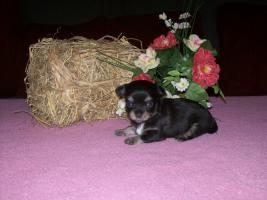 Foto 4 Chihuahua Welpen (auch Minis) Langhaar