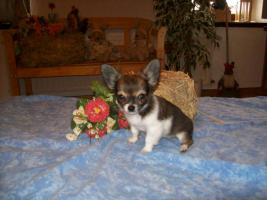 Foto 6 Chihuahua Welpen (auch Minis) Langhaar