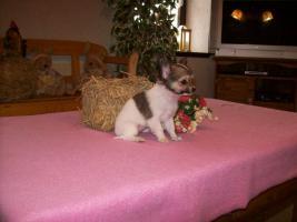 Foto 9 Chihuahua Welpen (auch Minis) Langhaar