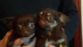 Chihuahua Welpen Rot