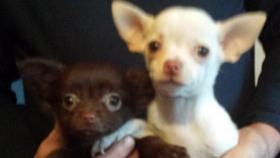 Foto 2 Chihuahua Welpen Rot