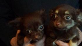 Foto 3 Chihuahua Welpen Rot
