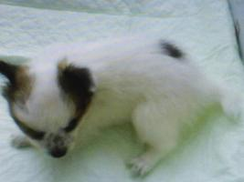 Foto 2 Chihuahua Welpen Rüden