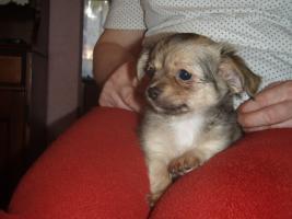 Foto 2 Chihuahua Welpen zu abgeben