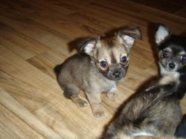 Foto 4 Chihuahua Welpen zu abgeben