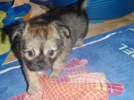 Foto 7 Chihuahua Welpen zu abgeben