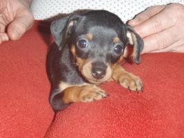 Foto 9 Chihuahua Welpen zu abgeben