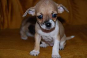 Chihuahua Welpen zu abgeben