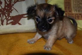 Foto 3 Chihuahua Welpen zu abgeben