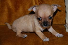 Foto 5 Chihuahua Welpen zu abgeben