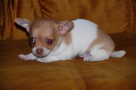 Foto 6 Chihuahua Welpen zu abgeben