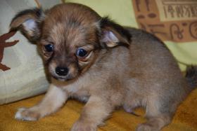Foto 8 Chihuahua Welpen zu abgeben