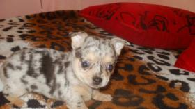 Foto 2 Chihuahua Welpen in attraktive Farben