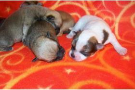 Chihuahua Welpen sind bereit zum Umzug!