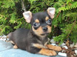 Chihuahua Welpen kurzhaar