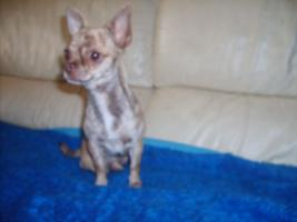 Foto 5 Chihuahua Welpen ohne Pap.