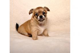 Chihuahua-Welpen in schönen Farben !