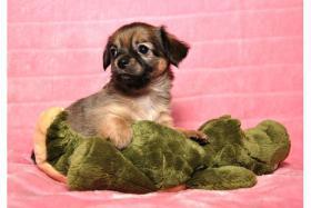 Foto 2 Chihuahua-Welpen in schönen Farben !