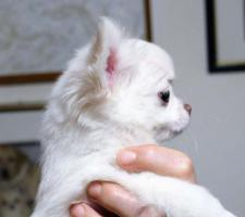 Foto 5 Chihuahua Welpen zu verkaufen