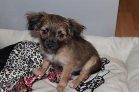 Chihuahua Welpen, 11 Woche Alt