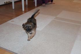 Foto 3 Chihuahua Welpen, 11 Woche Alt