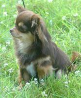 Chihuahua Zuchtreduzierung